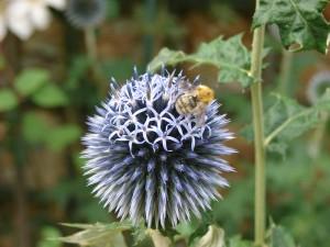 BeeOnEchinops_800