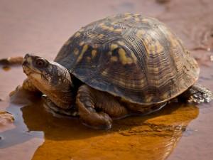 Eastern_Box_Turtle-27527-1