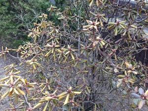Drought-stricken rhododendron. Photo by B. Rosie Lerner