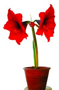 How To Care For Your Christmas Amaryllis Indiana Connection