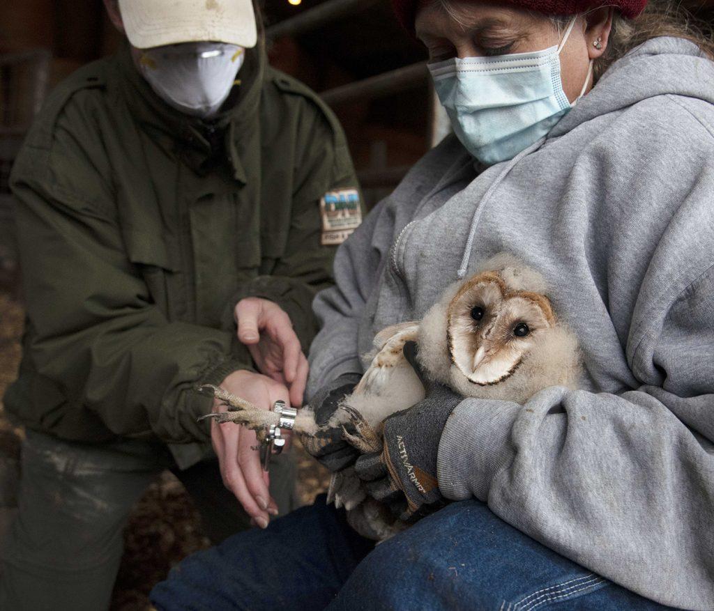 Holding a barn owl