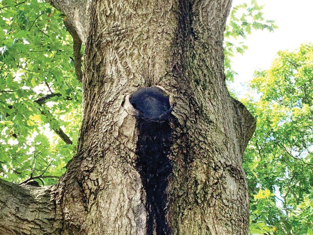 Oak tree with slime
